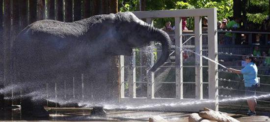 洒水降温:盐湖城动物园接收到高温预警后给动物们洒水防暑。