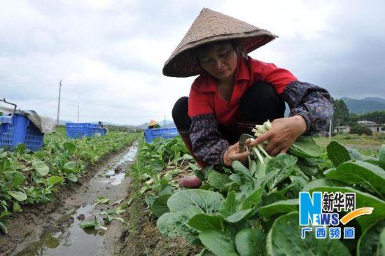 广西农民成蔬菜基地上班族