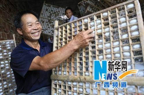 蚕农张建业在采摘蚕茧。
