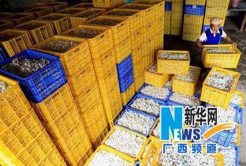广西融水县一缫丝厂的工作人员整理在当地集中收购的蚕茧。