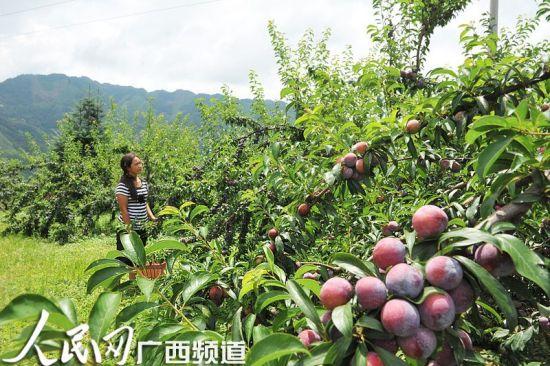 龙滩珍珠李于2012获评全国100个消费者最喜爱的中国农产品区域公用品牌