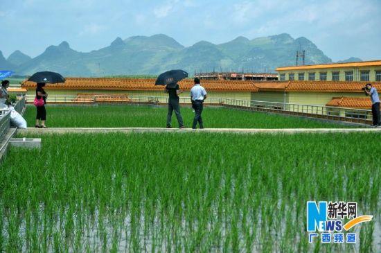 7月30日,在广西柳州市柳江县一家企业,市民在楼顶参观楼顶稻田。3