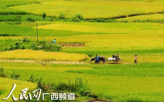 8月3日,群众在融安县潭头乡岭背村田间收割早稻。(人民网谭凯兴/摄)