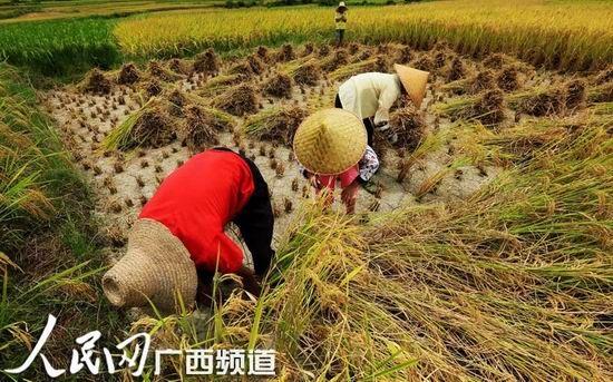 8月3日,融安县潭头乡岭背村群众在田间收割早稻。(人民网谭凯兴/摄)