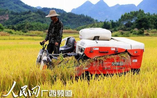 8月3日,在融安县大良镇新和村,一名农机手在田间收割早稻。(人民网谭凯兴/摄)