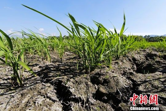 图为全州县文桥镇江头村因干旱龟裂严重急需灌溉的晚稻田。中新社发 梁倩 摄