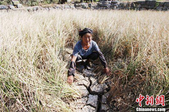图为全州县东山瑶族乡一农民看着已经干枯的中稻一脸迷惘。中新社发 梁倩 摄