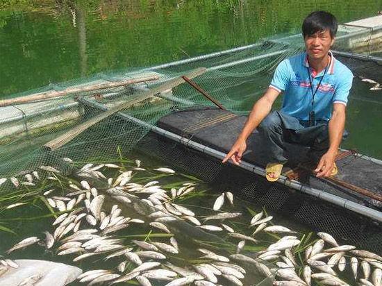 8月4日,防城港市防城区小峰水库的网箱养殖户陈仕武的鱼出现大规模死亡。新华社记者 韦大甘 程群 黄浩铭摄