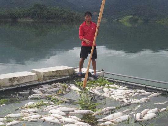 8月4日,防城港市防城区小峰水库的网箱养鱼大量漂浮在水面。新华社记者 韦大甘 程群 黄浩铭摄