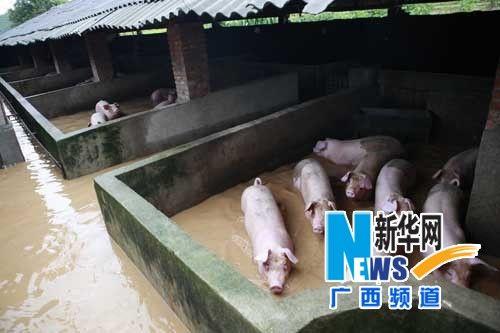 来宾市象州县罗秀镇一养猪场被洪水浸泡。新华网记者 龚坚摄