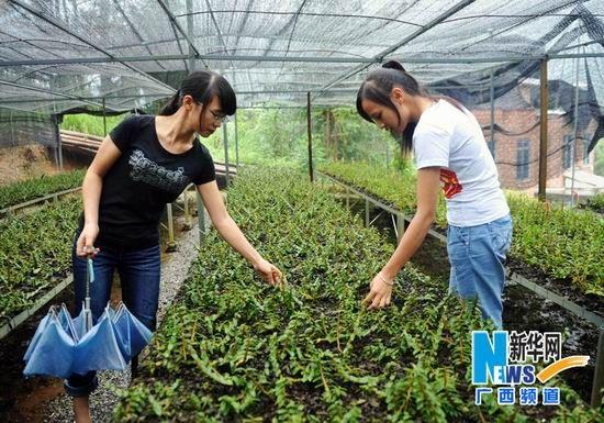 罗秋艳(左)和黄梦姿到培育园护理铁皮石斛接种苗。新华社记者 张爱林摄