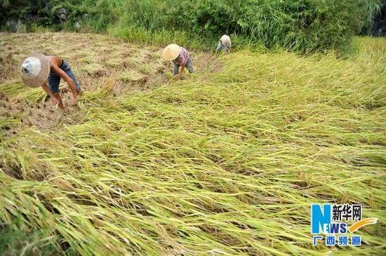 8月22日,在贺州市富川瑶族自治县城北镇周家村,村民在抢收被洪水损毁的水稻。新华社记者 陆波岸摄