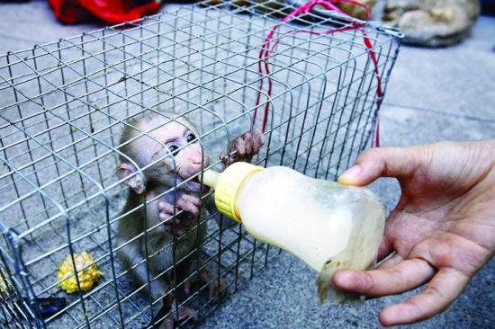 幼小的猕猴获救时。南国早报 图