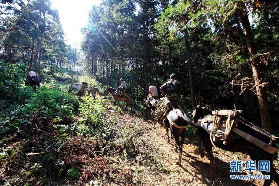 """在广西凤山县坡桃林场,几名""""赶马人""""赶着骡马上山运送木材。新华社记者 周恩革 摄"""