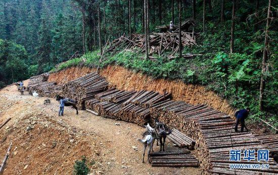 """""""赶马人""""准备用骡马运动木材下山。新华社记者 周恩革 摄"""