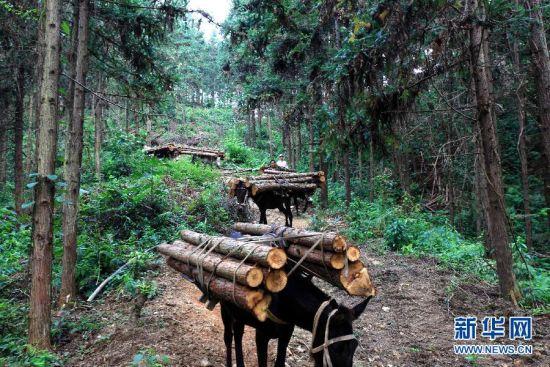 """""""赶马人""""赶着骡马运送木材。新华社记者 周恩革 摄"""