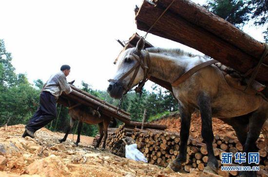 """在广西凤山县坡桃林场,""""赶马人""""在卸木材。新华社记者 周恩革 摄"""