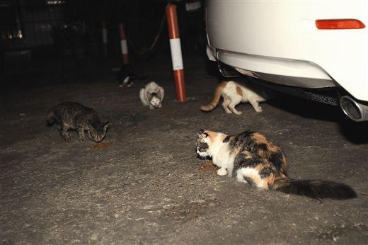 文化厅大院一停车场内,几只流浪猫在空地上吃饭,地上的猫粮是李女士投放的,她说,这些猫粮没什么味道,也容易清理。南国早报记者邹财麟 图