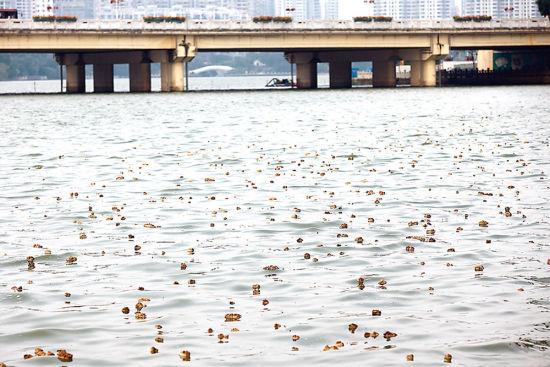 南湖上漂浮着大量黄褐色的漂浮物。