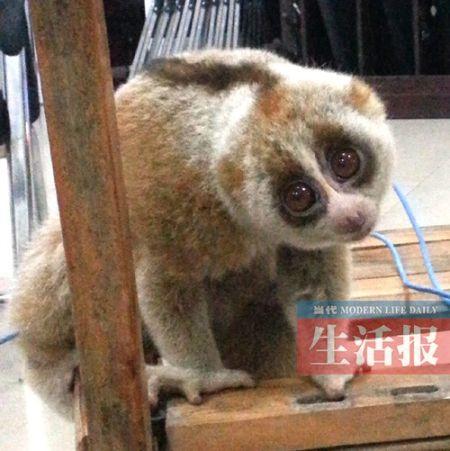 这只闯入工地的蜂猴长得很萌。生活报通讯员陆朝武 摄