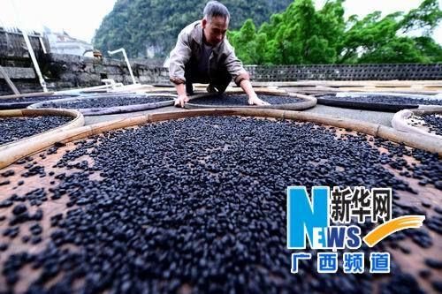 9月26日,贺州市昭平县黄姚古镇一家豆豉厂的工人在晾晒豆豉。新华社记者 黄旭胡 摄