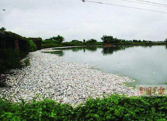 鱼塘里漂浮着大量死鱼。 朱剑华摄