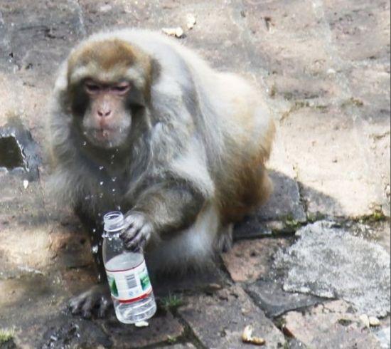 胖猴捡起游人丢的矿泉水瓶喝上几口。图片来源:当代生活报