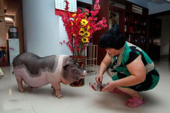 钟女士养的这头宠物猪已经长到一百五六十斤。 南国早报记者 张存立/图