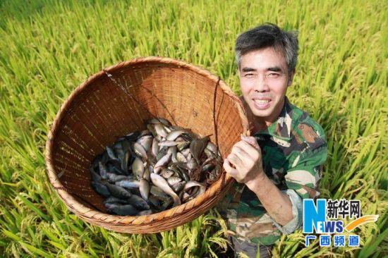 """广西全州""""鱼稻双丰收"""""""
