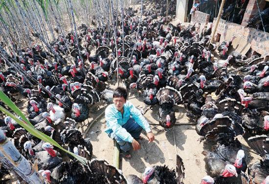 火鸡难卖,养殖户发愁。