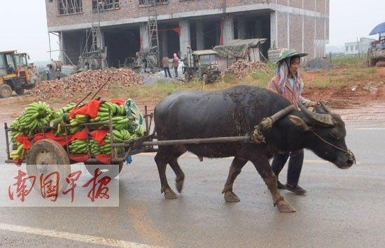 一村民赶着牛车去卖香蕉。