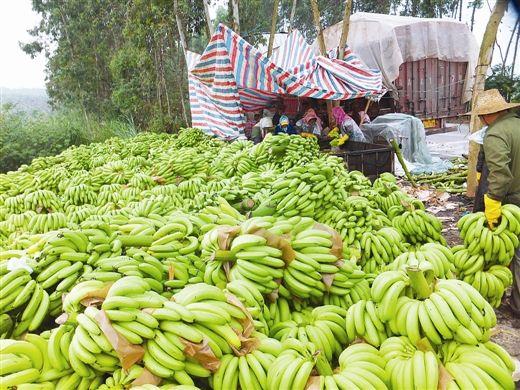 香蕉丰产,还得丰收。 南国早报记者赵劲松 摄