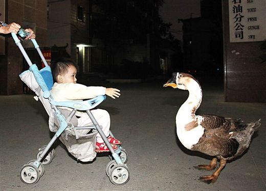 """小朋友在跟""""鹅子""""玩。当代生活报记者 徐天保 图"""