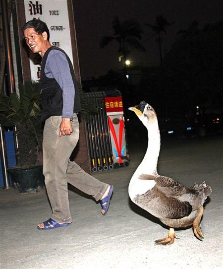 """""""鹅子""""跟主人散步。当代生活报记者 徐天保 图"""