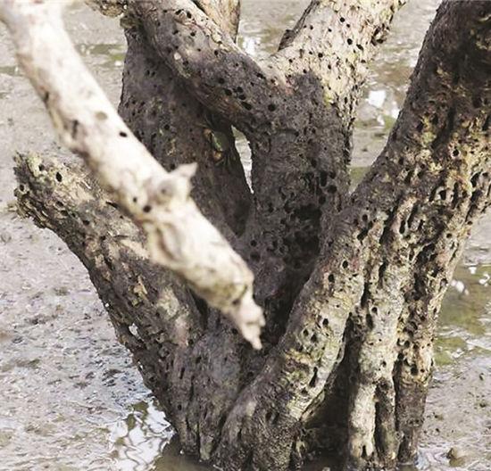 枯死的红树林根部布满小孔。肖仁立 摄