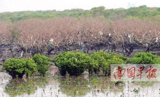 图为枯死的红树林。 南国早报记者 许海鸥摄