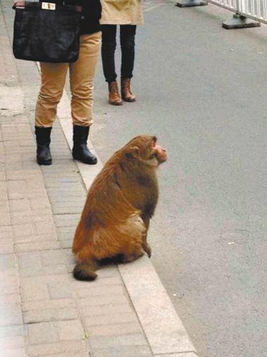 北京猕猴沿马路遛弯多次躲开抓捕(图)