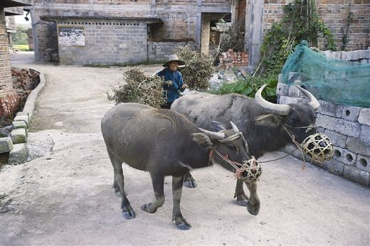 图为平果县太平镇那供村,一位留守老人放牛回来。 南国早报记者 徐冰 摄
