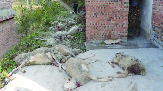 被咬死的羊,横七竖八地躺在地上。