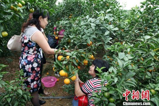 游客在家庭农场亲手采摘水果。黄冬 摄