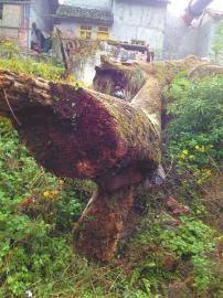 楠木顶端枝桠开始枯朽。