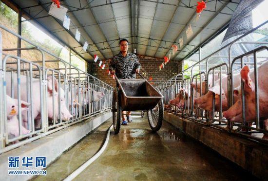 庞淇蔚从广西农业技术学校毕业后直接回村养猪。新华社记者 张爱林 摄