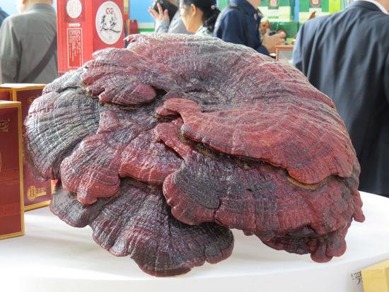 第10届中国—东盟博览会专业展林木展上展出的超大灵芝。