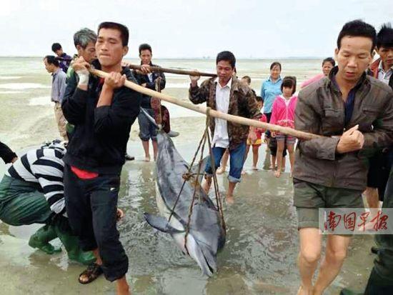 一条搁浅死亡的深海海豚被渔民抬上岸。图片来源:南国早报