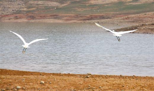 11月19日,两只白鹭在澄碧湖湿地保护区内飞翔。南国早报记者 徐庆成 摄
