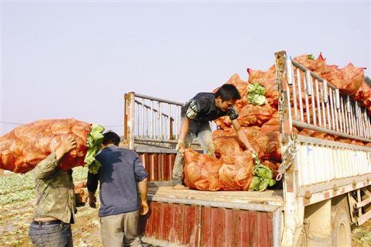 图为12月4日,菜农梁先生接到一酸菜厂的订购。当代生活报 记者 蒙进煌 摄