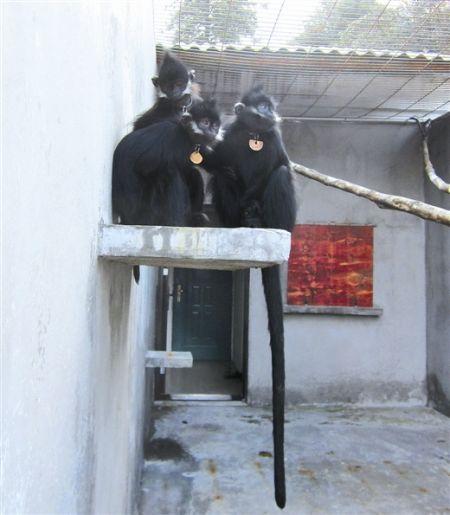 梧州圈养黑叶猴野化放归长途迁移全记录(图)