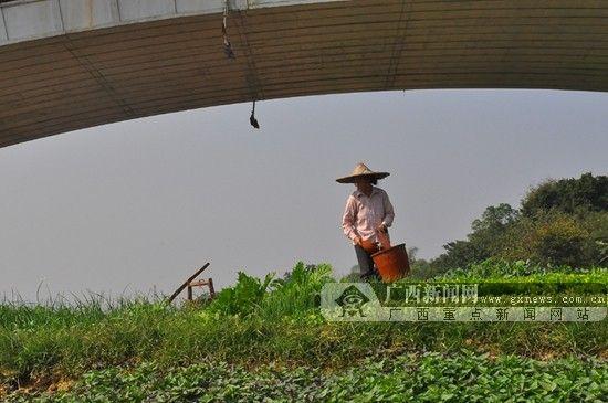 中兴大桥下,菜农在给菜地浇水。广西新闻网实习生 刘皓 摄