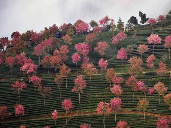 往年冬樱花约12月初开,花期不长,最佳观赏时间应是开花后的3-8天