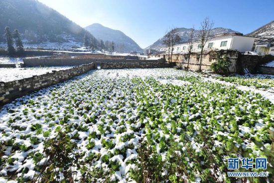 广西隆林各族自治县德峨镇的一片菜地被积雪覆盖。